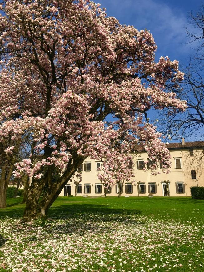 Palazzo Pallavicino e la magnolia fiorita